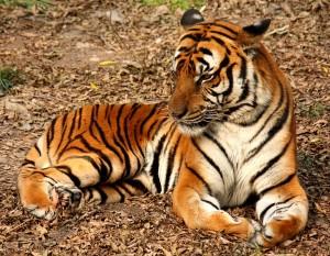 2012_Suedchinesischer_Tiger